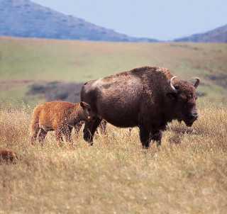 Catalina Island Buffalo